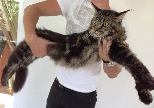 Maine coon cats in dubai